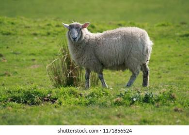 Portrait of a sheep in a grassy field.