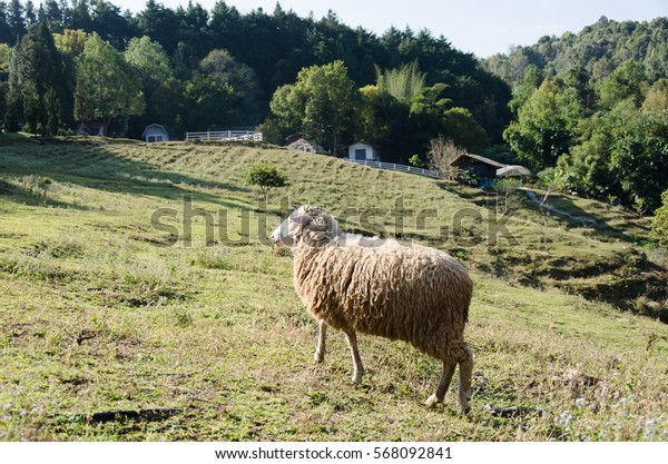 Portrait of sheep in a meadow