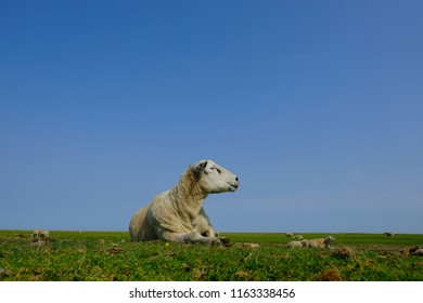 Portrait of a sheep relaxing in the pasture