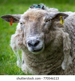 A portrait of a sheep with shaggy wool fur
