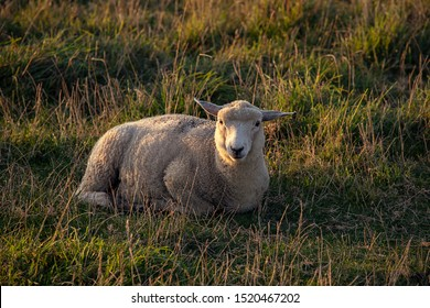 Portrait of Sheep sitting on a meadow, sunny. England. Typical english sheep grazing.