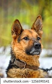 portrait of a shepherd dog on a leash