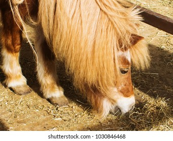 Portrait of a Shetland Pony