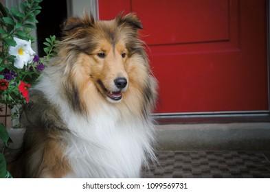 Portrait of a Shetland Sheepdog