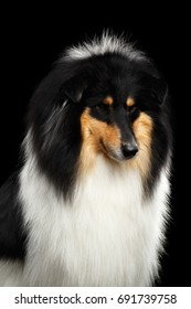Portrait of Shetland Sheepdog Dog, Sheltie on Black Background, front view