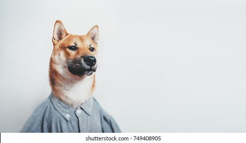 Portrait of shiba inu dog wearing hipster shirt and looking serious, empty space for your design, text message or logo, mock up with shiba inu dog