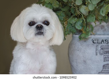 Portrait of a Shih Tzu