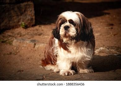 Portrait of a Shih tzu breed dog sitting over mud floor.