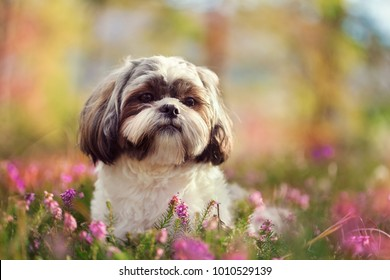 Portrait of a Shih tzu, shot in nature, vivid colors, blurry background