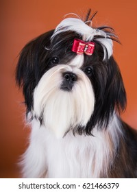 Portrait Of Shih-Tzu Puppy