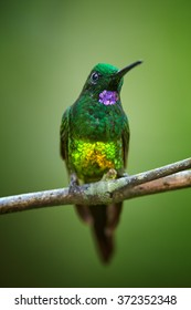 Portrait of shining green hummingbird Empress Brilliant Heliodoxa imperatrix,male with long tail and purple throat perched on mossy twig. Front view, dark green background. Vertical vibrant photo.