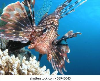 portrait shoot of lionfish