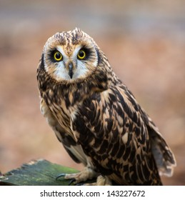 A portrait of a short eared owl on a spring day. Carolina Raptor Center, North Carolina
