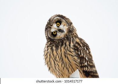 Portrait of a short eared owl in winter
