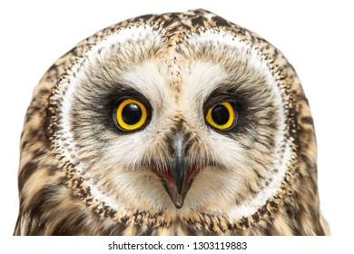 Portrait of the Short-eared Owl, Asio flammeus. Close-up.
