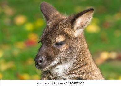 A portrait shot of a Bennett's Wallaby.