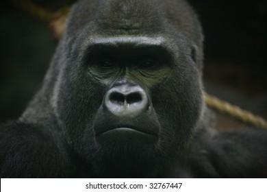 portrait shot of a big male silverback gorilla