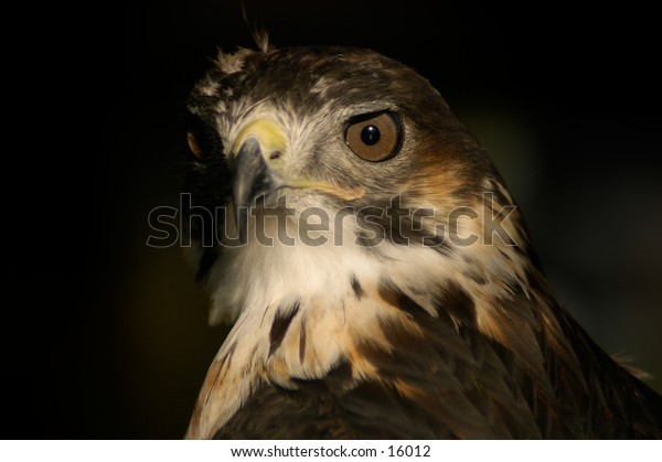 Portrait shot of a buzzard bird of prey.