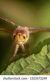 Portrait shot of a dragonfly looking at the camera far away shot and tilted. Globe wanderer dragonfly smiling and looking at the camera