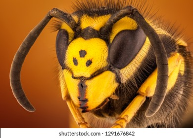 portrait shot of a a European Wasp also called German Wasp. yellow and black colors.