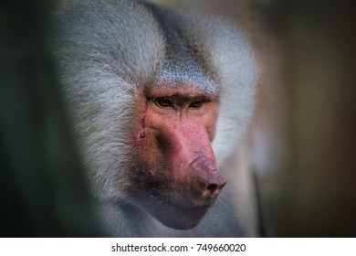 A portrait shot of a face of a monkey, Hamadryas Baboon, close up look of eyes, fur and nose. Portrait of an ape.