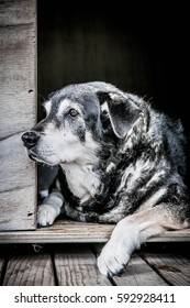 portrait shot of loyal old Huntaway dog lying in and looking out of her kennel outside on a timber deck