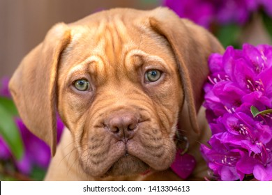 A portrait shot of Mabel, an 10 week old Dogue de Bordeaux (French Mastiff) bitch, with the less common fawn isabella colouring, stands in contrast alongside a purple rhododendron in her garden.