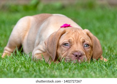 A portrait shot of Mabel, an 8 week old Dogue de Bordeaux (French Mastiff) bitch, with the less common fawn isabella colouring, as she lays in her new garden.