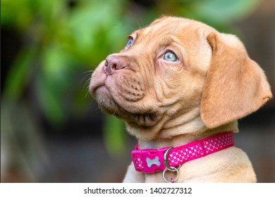 A portrait shot of Mabel, an 8 week old Dogue de Bordeaux (French Mastiff) bitch, with the less common fawn isabella colouring, as she sits in her new garden enjoying the summer sunshine.