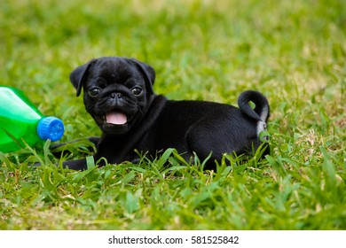 Puggy dog images stock photos vectors shutterstock portrait shot of my puggy thecheapjerseys Image collections