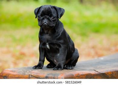 Puggy dogs images stock photos vectors shutterstock portrait shot of my puggy altavistaventures Images