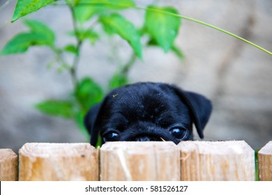 Puggy dogs images stock photos vectors shutterstock portrait shot of my puggy thecheapjerseys Image collections