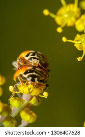 Portrait shot of Orange ladybugs mating on yellow flower. Top ladybug is in focus. Ladybug carrying another ladybug on its back. Ladybugs reproducing in nature with a beautiful green background