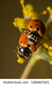 Portrait shot of Orange ladybugs mating on yellow flower. Ladybug carrying another ladybug on its back. Ladybugs reproducing in nature with beautiful colourful background