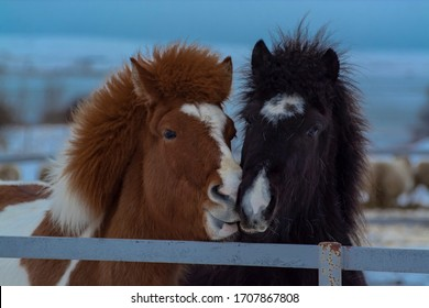 Portrait shot of two horses, one brown and other black, kissing and smooching each other. The shot was taken at a horse farm with white snow in the background on chilly winter evening in Iceland.