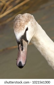 A portrait shot of a young and inquisitive swan in England.