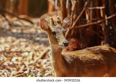 portrait of siamensis Eld's deer, Thamin, brow antlered wildlife in open natural park,it medium size and mammal