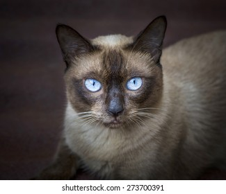 portrait of the siamese cat.