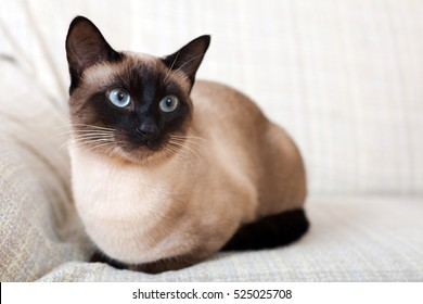 Portrait of a Siamese cat on a sofa at home.