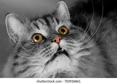 Portrait of a Siberian cat