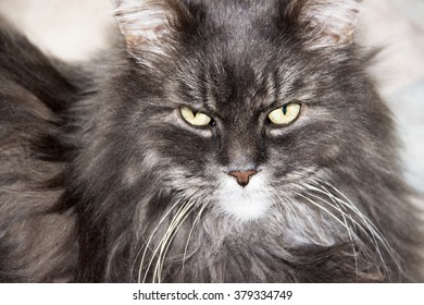 Portrait of Siberian cat. The muzzle is grey fluffy cat.