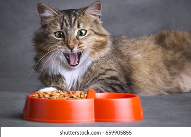 Portrait of a Siberian cat opened his mouth in surprise and  looking on a bowl full of dry food on a gray background