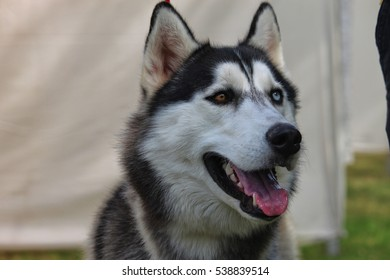 Portrait of Siberian Husky with blue & brown eye