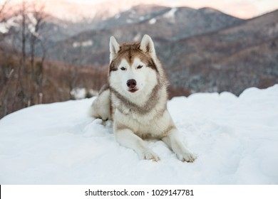Portrait of Siberian Husky dog liying is on the snow in winter forest at sunset on mountain bakground.