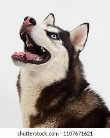portrait of a Siberian husky dog looking sideways