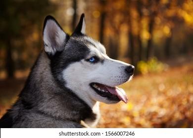 Husky Wallpaper Stock Photos Images Photography Shutterstock