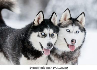 Portrait of a Siberian husky, friendship forever. Pet. Husky
