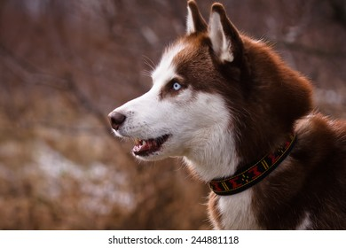 Portrait of a siberian husky head at winter time