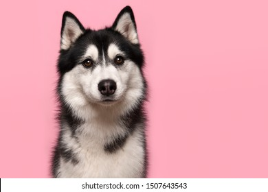 Portrait of a siberian husky looking at the camera on a pink background