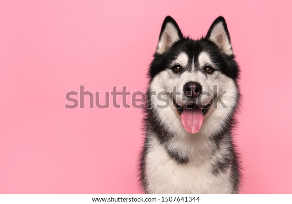Portrait of a siberian husky looking at the camera with mouth open on a pink background